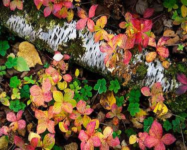 Autumn Forest Floor in Alaska