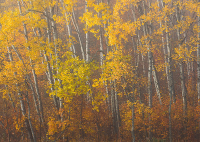 Gold colored aspen on a foggy morning.