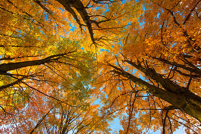 Looking up into maples in the fall.