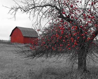 Old apple tree and Barn