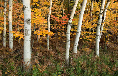 Aspen and maple with fall colors.